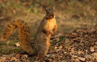 Squirrel, Cantigny Park. 50 (EOS)
