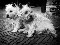 Dog-Twins (René Mollet) Tags: dog twins blackandwhite urban urbanstreet urbanlife animal wild street streetphotography streetart renémollet