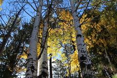 Aspen (lars hammar) Tags: hawleylake whitemountains fall fallcolors aspen trees leaves yellowleaves