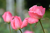 Pink Roses (Yasuz) Tags: pinkflower pink roses pastel nature autumn 秋 薔薇 ピンク バラ 自然 東京 tokyo nikon nikondf zeiss planart1485 zf2 bokeh macro flower