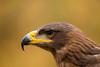 aquila ritratto (delbio79) Tags: aqila reale ritratto becco rostro piume avifauna occhio testa espressione sopraciglio sfondo