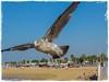 GAVIOTA (BLAMANTI) Tags: gaviotas aves avesdeespaña mar vuelo canon canonpowershotsx60 chipiona