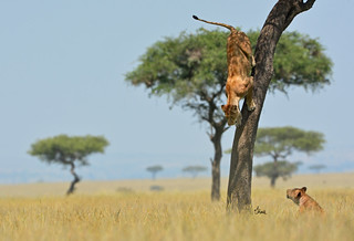 Coming Down! - Lioness jumping down from her perch in a Balanite Tree, Masai Mara, Kenya - 4979b+