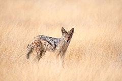 The Jackal (Palnick) Tags: jackal africa wildlife nature namibia animal wild predator wilderness mammal safari carnivore etosha national black african park outdoor canis mesomelas blackbacked dog natural cute desert backed scavenger habitat hunt fur dry kalahari canismesomelas graceful ecology etoshanationalpark blackbackedjackal hungry season beautiful southern looking south two thirst saltpan cheeky action background fox