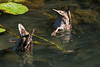 Time to eat (ioanasasarman) Tags: ducks birds lookingforfood reflections water upsidedown