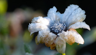 Cape marguerite after the first night frost