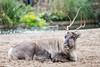 2017-10-08-12h46m31.BL7R4774 (A.J. Haverkamp) Tags: canonef100400mmf4556lisiiusmlens amsterdam noordholland netherlands zoo dierentuin httpwwwartisnl artis thenetherlands rendier rangifertarandus reindeer nl