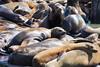 Seals (Katka S.) Tags: usa united states america san francisco pier 49 seal seals animal lots water sea bay