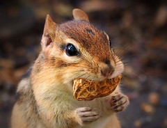 Thanks For The Snack (LupaImages) Tags: chipmunk critter face peanut animal mammal tiny hands friendly fur wild nature wildlife
