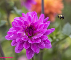 Dahlia & Bee (Explored) (rumerbob) Tags: dahlia pinkdahlia insect bee flower floral flowergarden fauna botany botanicalgardens botanical nature naturewatcher longwoodgardens canon7dmarkii canon100mmmacrolens