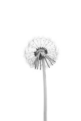 Dandelion (Funchye) Tags: monochrome dandelion mælkebøtte plant nikon d610 60mm whitebackground