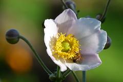 Höstanemon (evisdotter) Tags: höstanemon japaneseanemone anemonehupehensis flower blomma macro bokeh sunny light bi bee insect autumn sooc