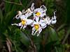 Oncidium cirrhosum (Eerika Schulz) Tags: cyrtochilum mindo ecuador oncidium cirrhosum odontoglossum