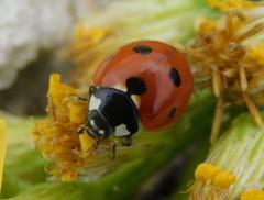 ladybug (cami.carvalho) Tags: joaninha