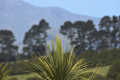 Towards the Peninsula (Ian@NZFlickr) Tags: the hills background 5 km away across our harbour a mix here native foreground trees brought by settlers from old country about 160 years ago dunedin nz