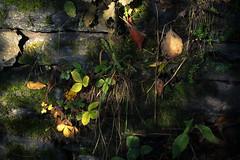 In the Vineyards of the Ahr (Netsrak) Tags: stein licht schatten altenahr ahrtal tal eifel blatt blätter pflanze natur