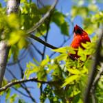 Male Cardinal thumbnail