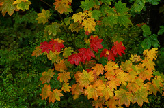 Fall Maple Vine (Kristian Francke) Tags: fall forest plant pentax nature natural bc canada leaf outdoors