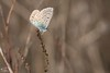 Argus Bleu-2 (mirage 31) Tags: hautegaronne argusbleu papillon