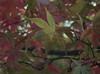Autumn colours (MV Photography (750,000 + Views)) Tags: canon 7d nature leaf leaves autumn colours fall westonbirt macro