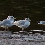 Herring Gulls thumbnail