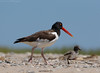 American Oystercatcher with chick (Cameron Darnell) Tags: oystercatcher shore shorebird haematopus capecod july summer sand beach family chick cute stroll cameron 2017 tamron canon light sea ocean