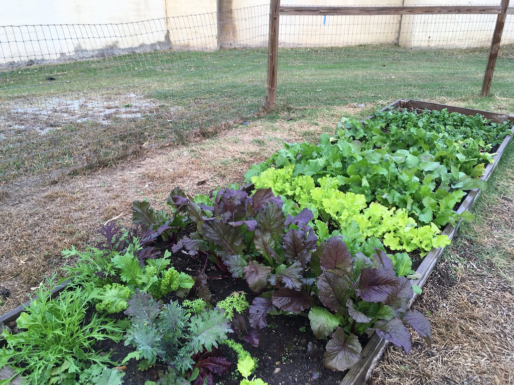 brassica juncea research paper ( brassica juncea l) baig mumtaz and sumia fatima drrafiq zakaria college for women research paper introduction : the production and supply of high quality.