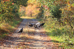 Wild Turkey - Meleagris gallopavo, Occoquan Bay National Wildlife Refuge, Woodbridge, Virginia (judygva) Tags: