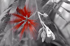 Black and white photo of flower with only red color (Carandoom) Tags: 2017 germany allemagne frankfurt francfort flowers fleurs botanic garden jardin botanique palmengarten black white noir et blanc one color une couleur rouge red macro