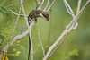 Lizard (ronmcmanus1) Tags: antigua caribbean animals wildlife jollyharbour stmarysparish antiguabarbuda