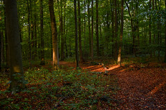 Forêt de soignes, Brussels 1 (gavin.mccrory) Tags: forest nature nikon camera photo trees brussels belgium europe d5100 35mm 105mm dslr photography outside green shrubs plants forests light sunshine reflection rays woodlands