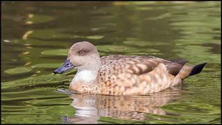 Patagonian Crested Duck