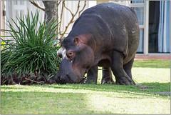 Unexpected Breakfast Guest (Mabacam) Tags: 2017 southafrica kwazulunatal stlucia hippopotamus hippo grazing animal dangerous herbivore nature wildlife outdoor