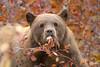 Black Bear (Amy Hudechek Photography) Tags: black bear nature wildlife gtnp grand teton national park amyhudechek autumn fall berries
