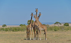 African Safari. A family portrait. (Lena and Igor) Tags: safari travel africa kenya masaimara savanna giraffes portrait dslr apsc nikon d5300 nikkor 18300 coth5