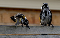 There's no need to bow! (The Pocket Rocket, On and Off.) Tags: newhollandhoneyeater phylidonyrisnovaehollandiae mygarden fence oceangrove victoria australia