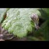Je réside à Locronan! (NAIGO) Tags: chiocciola foglia gocce verde acqua rugiada locronan francia bretagna canon 7d naigo fra