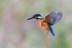 Kingfisher hover......... (klythawk) Tags: kingfisher alcedoatthis hovering nature wildlife autumn blue green orange pink grey black white nikon d500 sigma 150600mmc deltahide attenboroughnaturereserve beeston nottingham klythawk