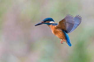Kingfisher hover.........