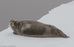 Bearded Seal (Erignathus barbatus) (Mark Carmody) Tags: beardedseal imagesbymarkcarmody lindbladexpeditions markcarmodyphotography markcarmody nationalgeographicexplorer nationalgeographic marinemammal bellsund carmo carmopolice carmopolis carmody ice mark norway norwegian seal snow svalbard arctic bearded mammal marine markcarmodyphotographycom natgeoexpeditions polar sea mc7d0710 erignathus barbatus erignathusbarbatus