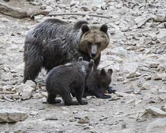 IMG_6541 (Branko.Hlad) Tags: medvedka bears gozd narava živali animals