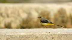 bergeronette des ruisseaux (frederic.laroche6) Tags: bergeronnette oiseau bird greoux provence verdon nikon d7100 nikkor 200 500 f56 14 700mm