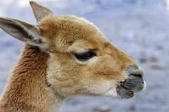 Big Eye (Alfred Grupstra) Tags: animal mammal nature wildlife outdoors animalhead cute fur animalsinthewild brown closeup looking deer oneanimal hoofedmammal portrait horned animalsandpets younganimal mountain vicuña