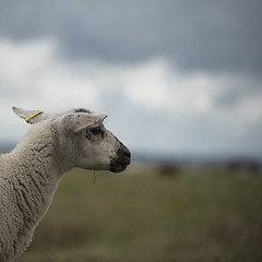 La vie au grand air -* (Titole) Tags: lamb titole squareformat nicolefaton sheep shallowdof thechallengefactory