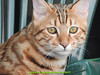 gio_k2_2017_08_351 (giordano torretta alias giokappadue) Tags: abetone bengala gastone gatto kat