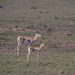 Grant's gazelle and 3 and a half week old fawn. Ngorongoro