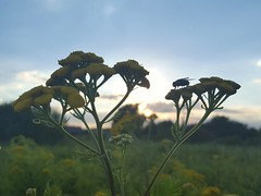 Ready to fly (Iggy Y) Tags: tanacetumvulgare tanacetum vulgare summer blossom flower yellow color flowers green leaves nature field plant običnivratić vratić goldenbuttons tansy sunny sunset day light insect fly sun blue sky cloud colorful clouds tree