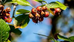 Früchte im Herbst (p.schmal) Tags: panasonicgx80 hamburg farmsenberne herbstlaub herbstfrüchte