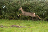 Roe deer (Capreolus capreolus) doe leaping (Ian Redding) Tags: british capreoluscapreolus cervidae european roedeer uk autumn doe elegant farmland fast fauna female field intheair jump jumping leap leaping looking mammal native nature rump running small whiterump wildlife