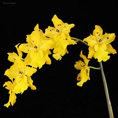 Odontocidium Mayfair 'R.F.W' (Harlz_) Tags: odontocidiummayfairrfw odontocidiummayfair odontocidium orchid hybrid yellow flowers